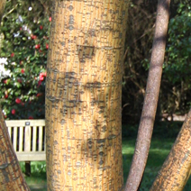 Acer pensylvanicum 'Erythrocladum'