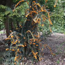Berberis linearifolia