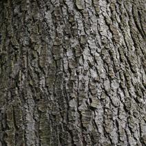 Cedrus brevifolia (Cedrus libani ssp. brevifolia)
