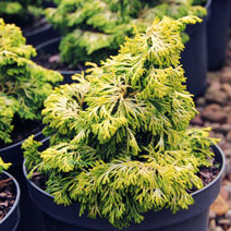 Chamaecyparis obtusa 'Golden Ceramic'