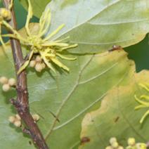 Corylopsis sinensis