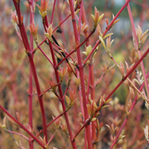 Cornus sanguinea 'Winter Beauty'