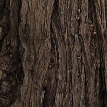 Hippophaë rhamnoides subsp. sinensis