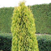 Thuja occidentalis 'Jantar'