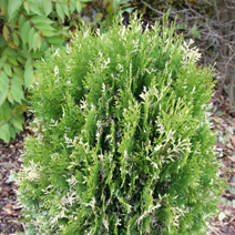 Platycladus orientalis 'Marjolein' (Thuja or. 'Marjolein')