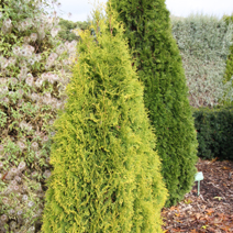 Thuja occidentalis 'Maria'