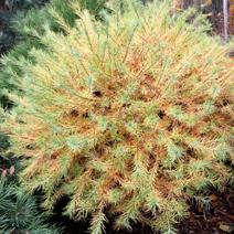 Larix laricina 'Steuben'