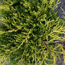 Juniperus x pfitzeriana 'Mordigan Gold' (J. media 'Mordigan Gold')