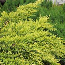 Juniperus x pfitzeriana 'Pfitzeriana Aurea' (J. media 'Pfitzeriana Aurea')