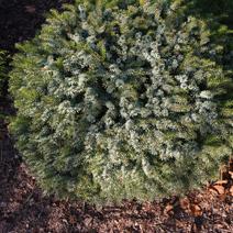 Picea omorika 'Marosz'