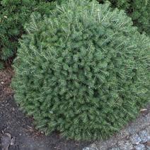 Picea abies 'Mikulasovice' ('Krnak')