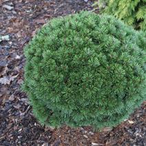 Pinus mugo 'Fischleinboden'