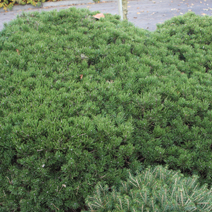 Pinus mugo 'Klosterkötter'