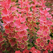 Berberis thunbergii 'Orange Sunrise' PBR