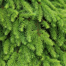 Picea abies 'Formanek'