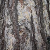 Pinus nigra subsp. laricio
