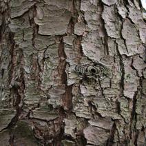 Pinus wallichiana ( P. griffithii)