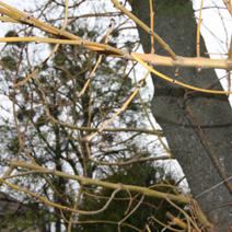 Fraxinus excelsior 'Aurea'