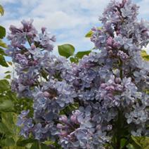 Syringa vulgaris 'Aucubaefolia'