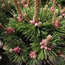 Pinus mugo 'Peterle'
