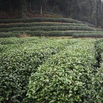 Zdj. nr 3;Plantacja herbaty w Chinach.