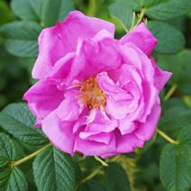 Rosa rugosa ANGELIA PINK 'Minrugo5p'