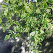 Salix cinerea 'Tricolor'