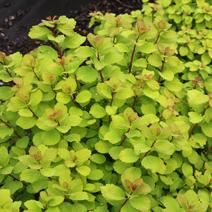Spiraea betulifolia 'Tor Gold' PBR