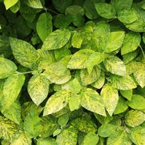 Viburnum lantana 'Aureovariegata'
