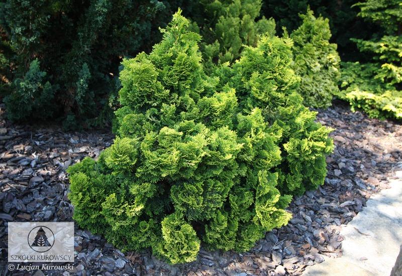 Chamaecyparis Obtusa Nana Aurea 1