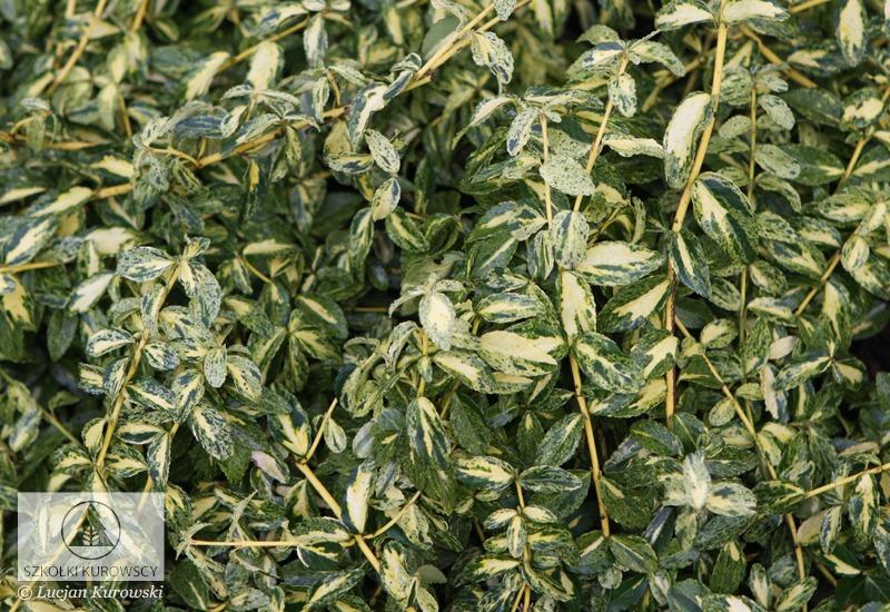 Euonymus fortunei golden harlequin pbr 3