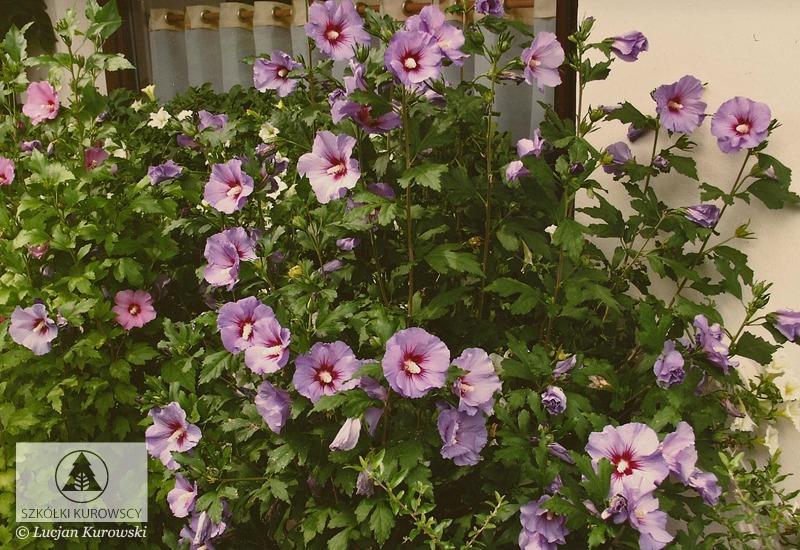 Hibiscus Syriacus Woodbridge Rose Of Sharon Woodbridge Rose