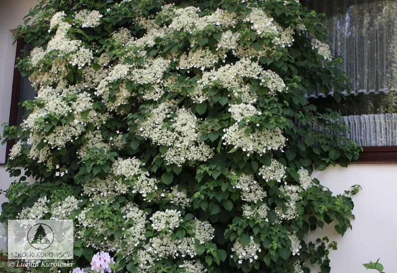 hydrangea anomala subsp petiolaris hortensie. Black Bedroom Furniture Sets. Home Design Ideas