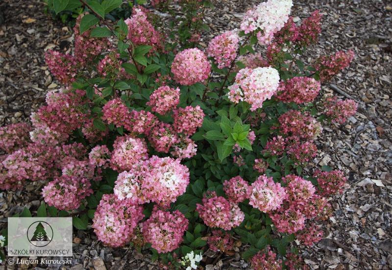 Hydrangea paniculata \'Sundae Fraise\' - Szkółki Kurowscy