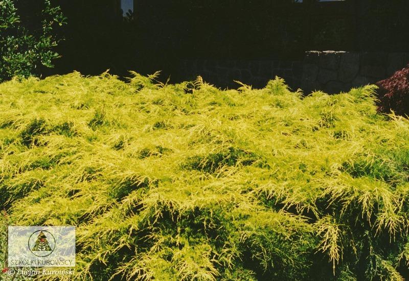 Juniperus x pfitzeriana 'Gold Coast' (J. media 'Gold Coast ...
