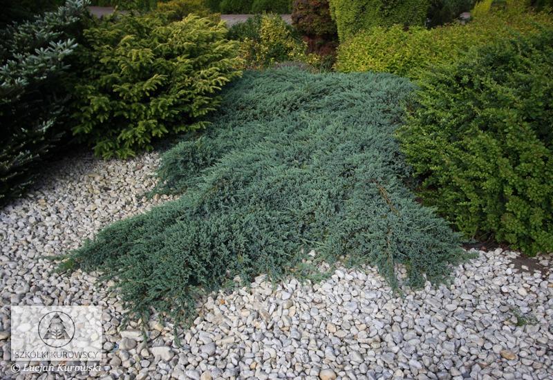 Juniper Blue Carpet Plant - Carpet Vidalondon