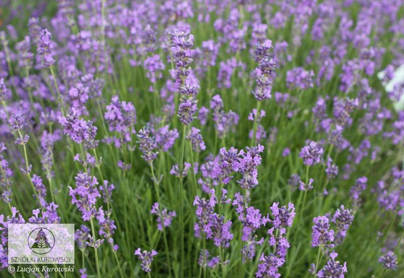 lavandula angustifolia 39 dwarf blue 39 lavendel echter. Black Bedroom Furniture Sets. Home Design Ideas