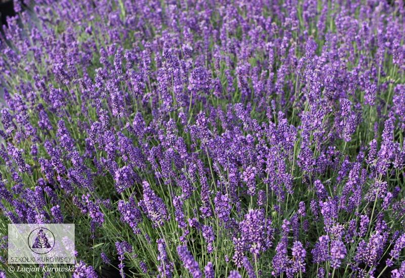lavandula angustifolia 39 hidcote 39 lavendel echter. Black Bedroom Furniture Sets. Home Design Ideas