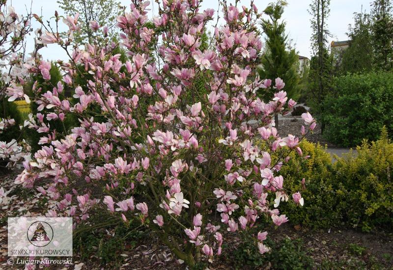 magnolia 39 george henry kern 39 magnolie 39 george henry kern. Black Bedroom Furniture Sets. Home Design Ideas