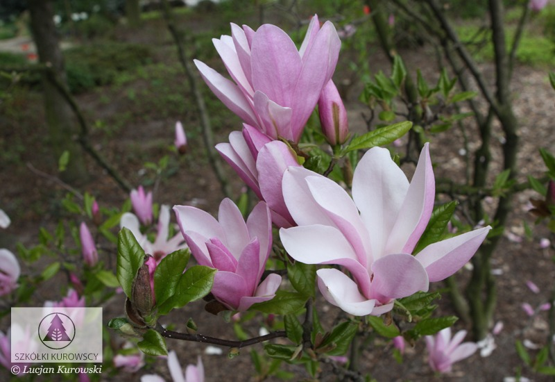magnolia 39 george henry kern 39 magnolia 39 george henry. Black Bedroom Furniture Sets. Home Design Ideas