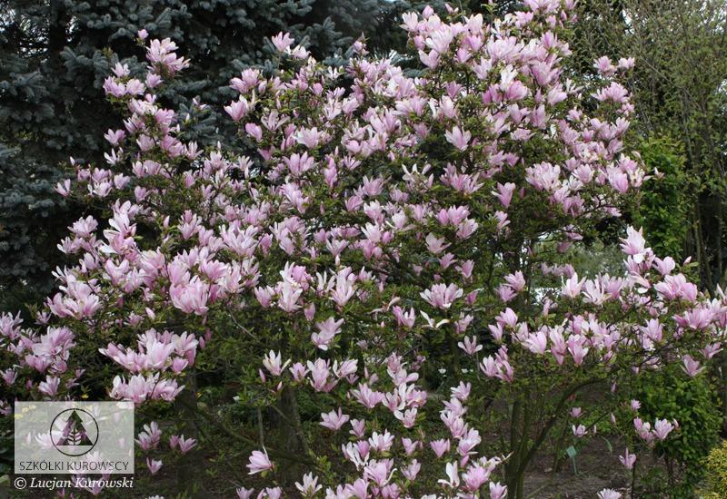 magnolia 39 george henry kern 39 magnolia 39 george henry kern
