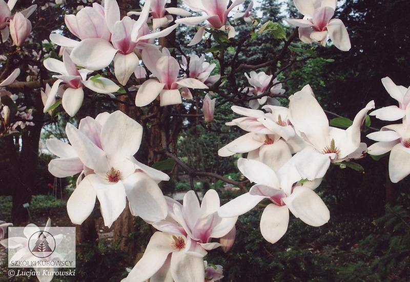 magnolia x soulangeana 39 speciosa 39 magnolia soulangea. Black Bedroom Furniture Sets. Home Design Ideas