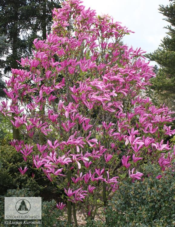 magnolia 39 susan 39 magnolie 39 susan 39 szk ki kurowscy. Black Bedroom Furniture Sets. Home Design Ideas