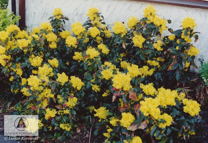 Mahonia Aquifolium Apollo Szkółki Kurowscy