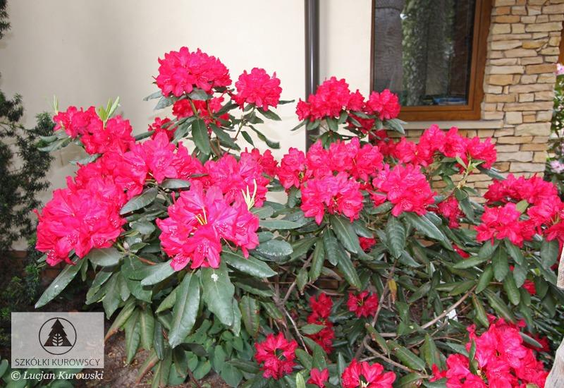 rhododendron hybridum 39 hachmann 39 s feuerschein. Black Bedroom Furniture Sets. Home Design Ideas