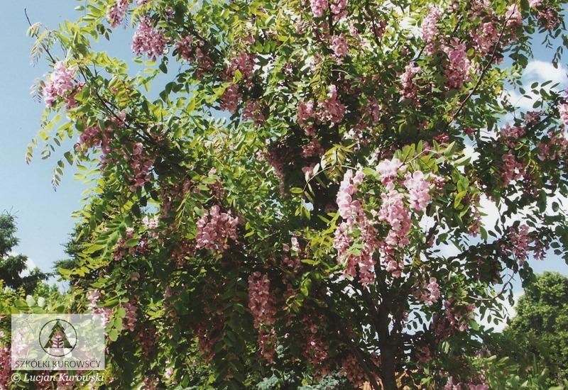 Robinia viscosa Clammy Locust, Hartweg's locust PFAF Plant Database