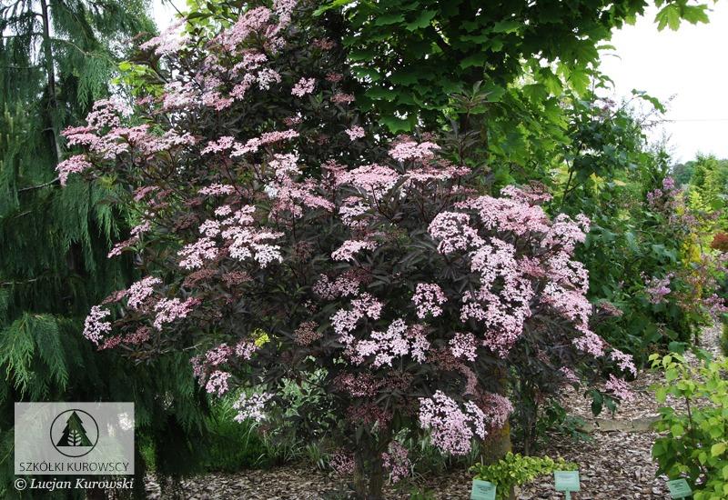 c425a9a8ce33 Sambucus nigra  Black Beauty  ® PBR - Szkółki Kurowscy