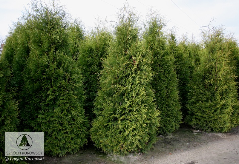 thuja occidentalis 39 brabant 39 arborvitae 39 brabant. Black Bedroom Furniture Sets. Home Design Ideas