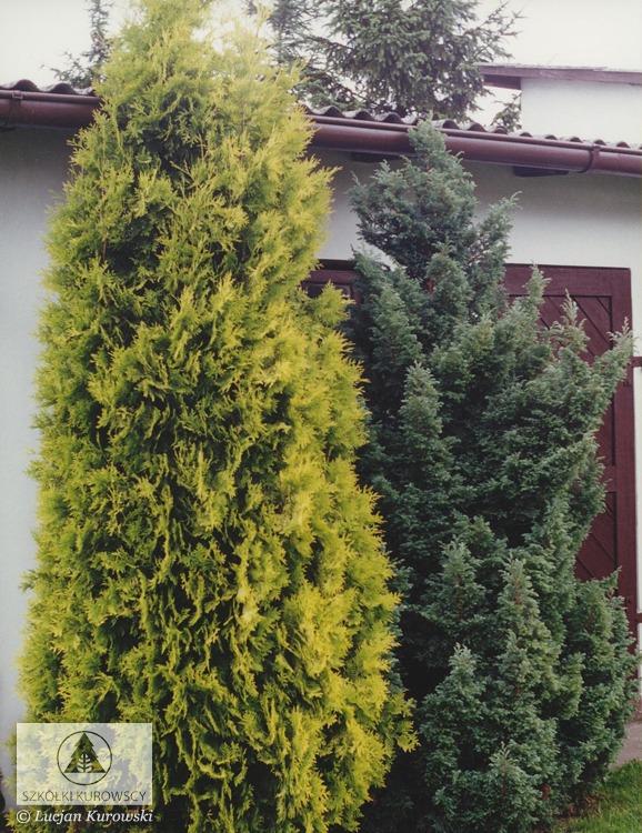 thuja occidentalis 39 aurescens 39 ywotnik zachodni. Black Bedroom Furniture Sets. Home Design Ideas