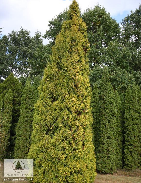 thuja occidentalis 39 aurescens 39 arborvitae 39 aurescens. Black Bedroom Furniture Sets. Home Design Ideas